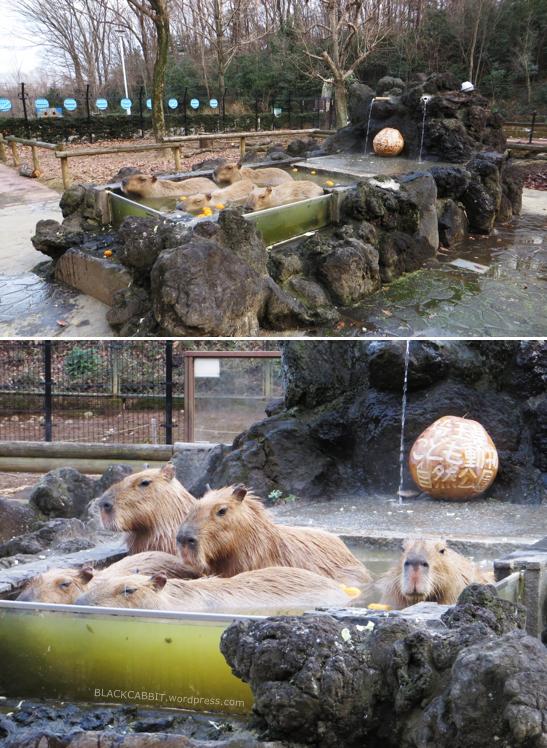 Capybara hot springs
