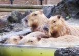 Capybaras Hot Spring